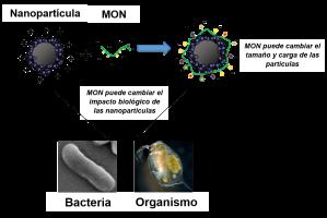 La MON puede recubrir la superficie de las nanopartículas, lo que causaría cambios en sus propiedades. Es entonces importante que entendamos cómo las nanopartículas interactúan con los organismos cuando la MON está en presente. Imagen fue modificada de la fuente 9.