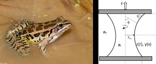 Un Pickerel frog y un diagrama de un puente capilar