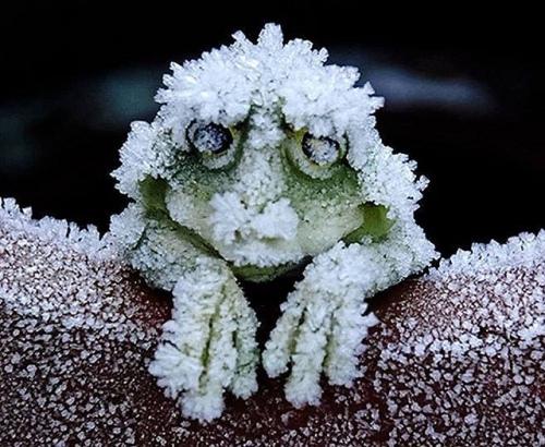 una rana congelada