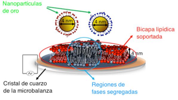 las nanopartículas de oro y la bicapa lipídica soportada