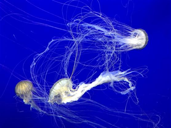 tres medusas